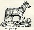 Wild donkey of Asia Minor - Thevet André - 1556.jpg