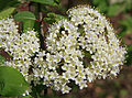 Wild raisin Viburnum cassinoides flowers close.jpg