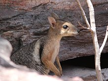Wilkins-rock-wallaby-face-side-view260817p18lowres.jpg