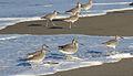 Willet, Tringa semipalmata, Moss Landing and Monterey area, California, USA. (30883554406).jpg