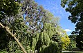 Willingale, Essex, England - The Street garden trees 01 lilac, eucalyptus and willow.JPG