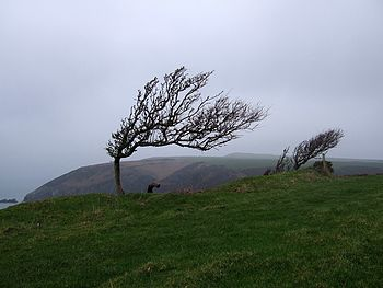 English: Wind-sculpted trees on the Pembrokesh...