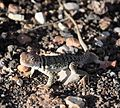 Wupatki National Monument - Crotaphytus collaris - 02.JPG
