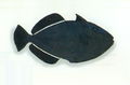XRF-Melichthys indicus.png