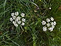 Yarrow flower.jpg