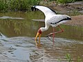 Yellow-billed Stork (Mycteria ibis) (6045861734).jpg