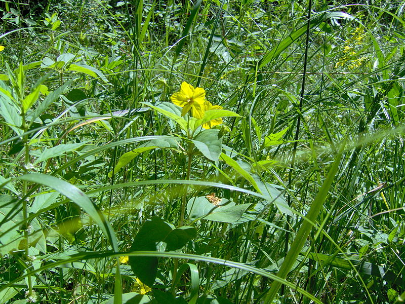 File:YellowPairedFlower.JPG