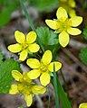 Yellow Avens (Geum aleppicum) (5748647868).jpg