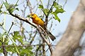 Yellow Grosbeak (Pheucticus chrysopeplus) (5783248877).jpg