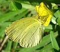 Yellow butterfly (4737294595).jpg