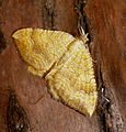 Yellow shell. Camptogramma b. bilineata - Flickr - gailhampshire.jpg