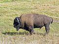 Yellowstone Bison bull 2011.JPG 11.jpg