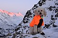 Yjorba the miniature poodle on Flattop. Chugach State Park, Chugach Mountains, Alaska (16411639697).jpg