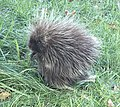Young North American Porcupine.jpg