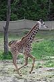 Young giraffe Frolicking.jpg