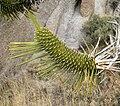 Yucca brevifolia 8.jpg