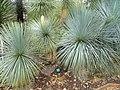 Yucca linearifolia - Jardin d'oiseaux tropicaux - DSC04872.JPG