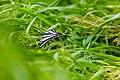 Zebra swallowtail (19309054481).jpg