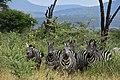 Zebras, Yabello Wildlife Sanctuary (3) (29197256491).jpg