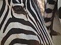 Zebras in Tanzania 4306 Nevit.jpg