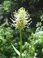 Zerwa kłosowa (Phyteuma spicatum) 01.jpg