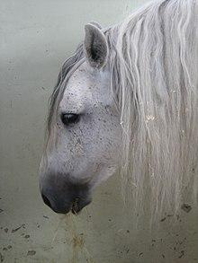 cheval espagnol sauvage