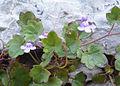 Zimbelkraut (14089794984).jpg