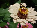 Zinnia from Lalbagh flower show Aug 2013 8628.JPG