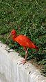 Zoo de Vincennes, Juin 2007 - Ibis rouge.jpg