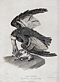 Zoological Society of London; a condor attacking a lamb on a Wellcome V0023125.jpg