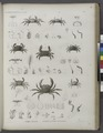 Zoologie. Crustacés. Crabes-alésides, Potamos ou Crabes-fluviatiles (NYPL b14212718-1268551).tiff