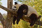 Zooparc de Beauval - Panda - 2016 - 012.jpg