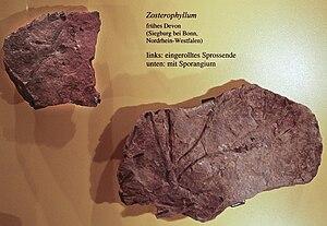 Zosterophyllopsida - Zosterophyllum species fossils