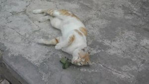 "Gambar:""Arya"" Cat plays with Acalypha indica-Pilangsari-2019.webm"