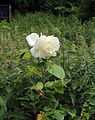 'All Saints Church, Nazeing, Essex, England ~ Church Cottage back garden rose and nettles.JPG