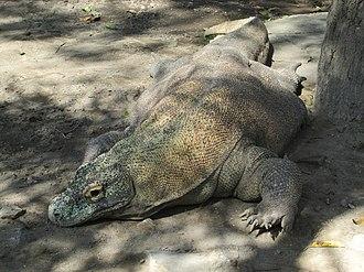 Gembira Loka Zoo - Image: 'Komodo Dragon' at the Gembira Loka Zoo' in Yogyakarta