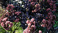 'Sedum telephium' Purple Emperor Capel Manor College Gardens Enfield London England 3.jpg