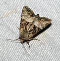 (2341) Cloaked Minor (Mesoligia furuncula) (4777702783).jpg
