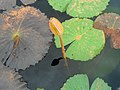 (Nymphaea nouchali) Lotus bud in a cistern at Thotlakonda.jpg