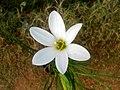 (Zephyranthes candida) White Ginger Lily at Marikavalasa.JPG