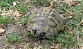 Χερσαία χελώνα οικογένειας Testudinidae.jpg
