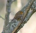 Зарянка - Erithacus rubecula - European robin - Червеногръдка - Rotkehlchen (37854385196).jpg