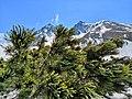 Кедровый стланик на фоне горы Вачкажец.jpg