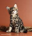 Котята питомника Khrustal Orchid.jpg