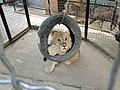 Львёнок. Севастопольский зоопарк..JPG