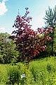 Національний ботанічний сад ім. М.Гришка Клен гостролистий Crimson King 02.jpg