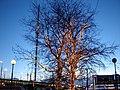Новогодние деревья - panoramio.jpg