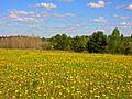 Одуванчиковое настроение - panoramio.jpg
