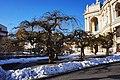 Софора японська плакуча (ботанічна пам'ятка природи).jpg