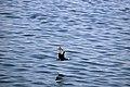رفتار مرغان دریایی نوروزی یا یاعو در کشور عمان، شهر مسقط، ساحل دریای عمان - عکس مصطفی معراجی 12.jpg